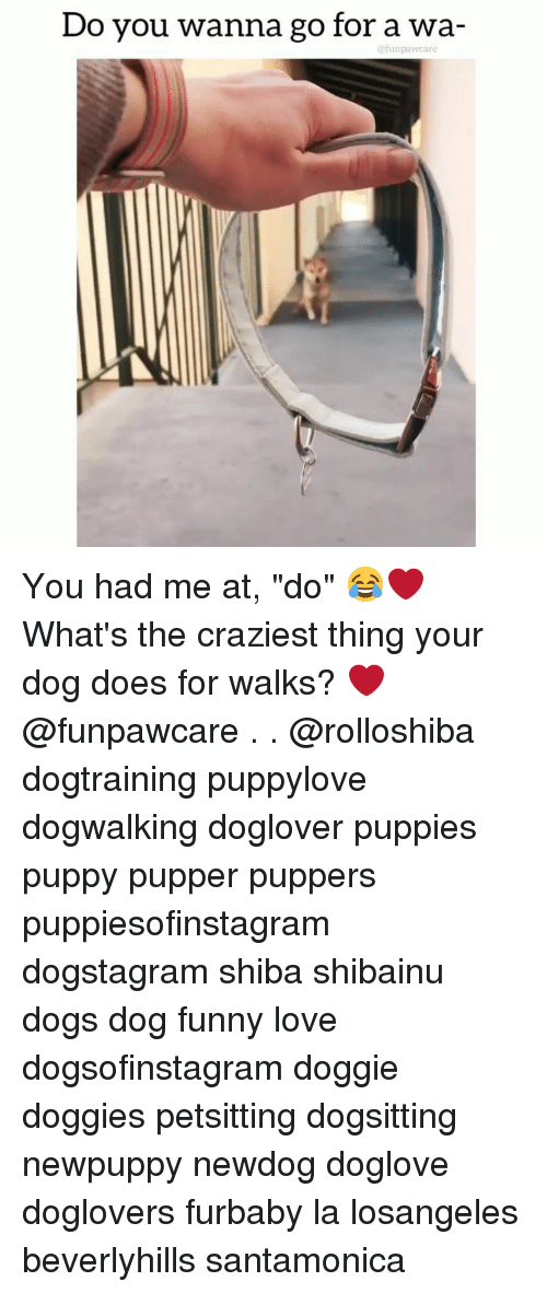 """Dogs, Funny, and Love: Do you wanna go for a wa-  efunpawcare You had me at, """"do"""" 😂❤️ What's the craziest thing your dog does for walks? ❤️@funpawcare . . @rolloshiba dogtraining puppylove dogwalking doglover puppies puppy pupper puppers puppiesofinstagram dogstagram shiba shibainu dogs dog funny love dogsofinstagram doggie doggies petsitting dogsitting newpuppy newdog doglove doglovers furbaby la losangeles beverlyhills santamonica"""