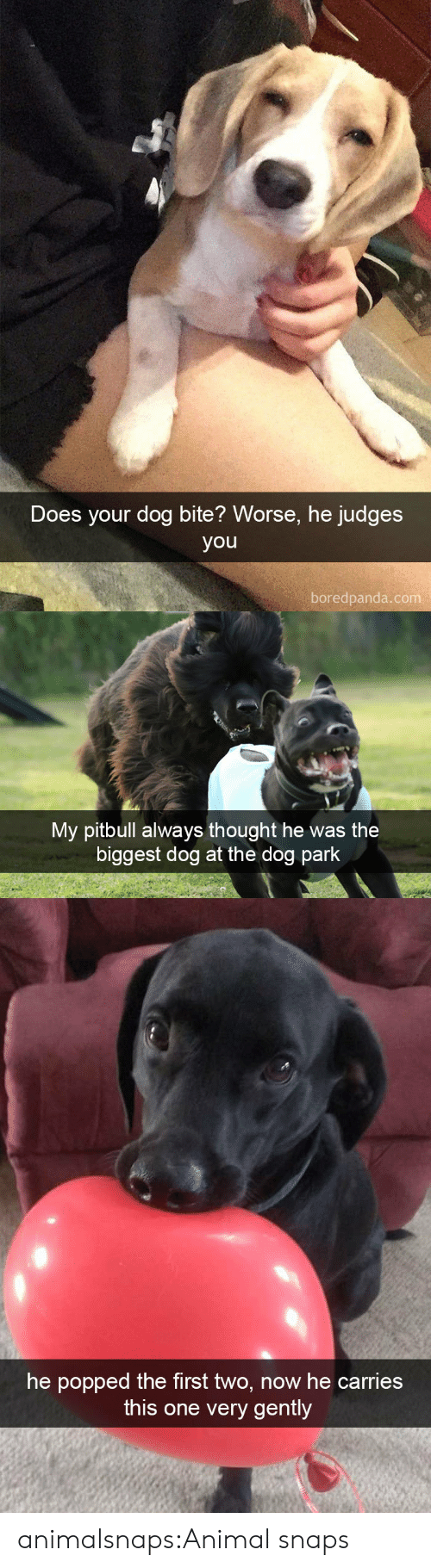 Pitbull: Does your dog bite? Worse, he judges  you  boredpanda.com   My pitbull always thought he was the  biggest dog at the dog park   he popped the first two, now he carries  this one very gently animalsnaps:Animal snaps