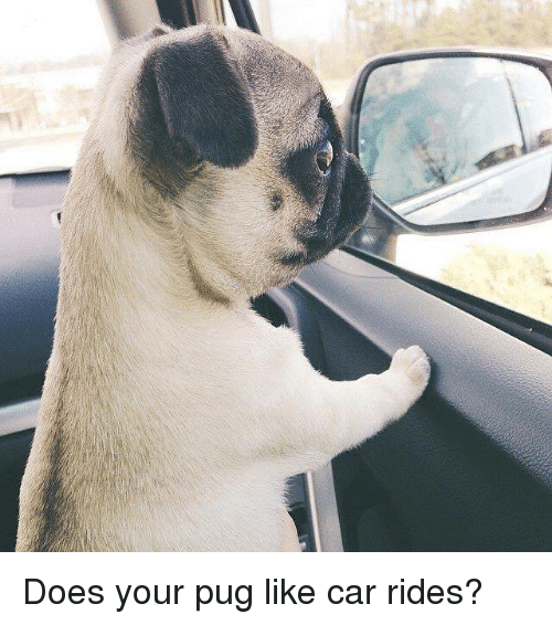 Pugged: Does your pug like car rides?