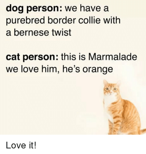 collie: dog person: we have a  purebred border collie with  a bernese twist  cat person: this is Marmalade  we love him, he's orange Love it!