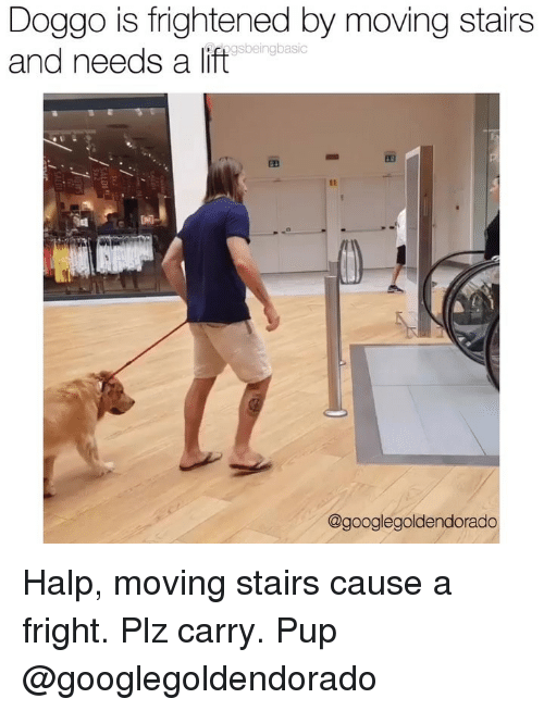 Halp: Doggo is frightened by moving stairs  and needs a lift  gsbeingbasic  @googlegoldendorado Halp, moving stairs cause a fright. Plz carry. Pup @googlegoldendorado