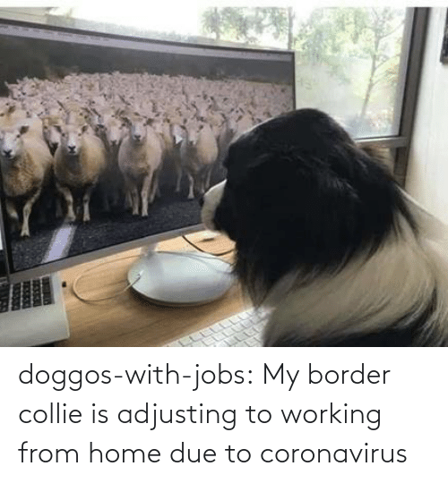A: doggos-with-jobs:  My border collie is adjusting to working from home due to coronavirus