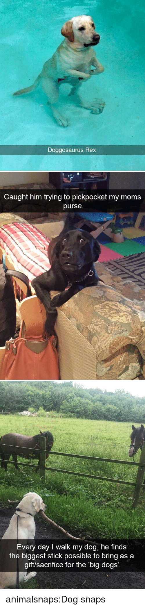 Dogs, Moms, and Target: Doggosaurus  Rex   Caught him trying to pickpocket my moms  purse   Every day I walk my dog, he finds  the biggest stick possible to bring as a  aift/sac  rifice for the 'big dogs animalsnaps:Dog snaps