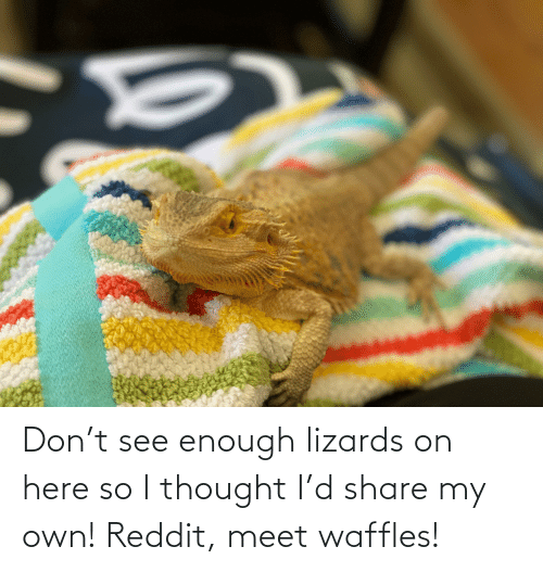 waffles: Don't see enough lizards on here so I thought I'd share my own! Reddit, meet waffles!