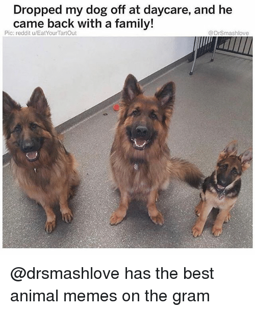 Best Animal Memes: Dropped my dog off at daycare, and he  came back with a family!  Pic: reddit u/EatYourTartOut  @DrSmashlove @drsmashlove has the best animal memes on the gram