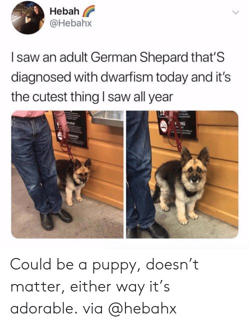 german shepard: eba  @Hebahx  I saw an adult German Shepard that'S  diagnosed with dwarfism today and it's  the cutest thing I saw all year  ING  SMOKING Could be a puppy, doesn't matter, either way it's adorable. via @hebahx