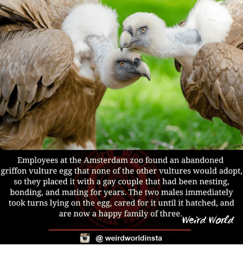 nesting: Employees at the Amsterdam zoo found an abandoned  griffon vulture egg that none of the other vultures would adopt  so they placed it with a gay couple that had been nesting,  bonding, and mating for years. The two males immediately  took turns lying on the egg, cared for it until it hatched, and  are now a happy family of three  Weird World  @ weirdworldinsta