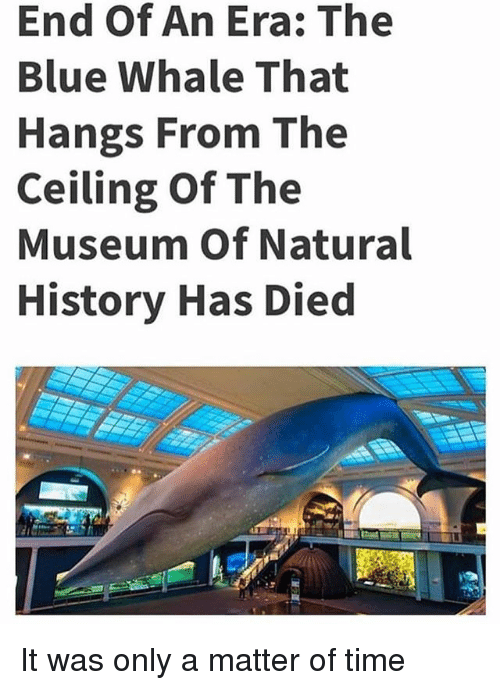 blue whale: End Of An Era: The  Blue Whale That  Hangs From The  Ceiling Of The  Museum Of Natural  History Has Died It was only a matter of time