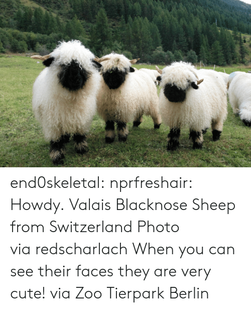 Switzerland: end0skeletal:  nprfreshair:  Howdy. Valais Blacknose Sheep from Switzerland Photo viaredscharlach  When you can see their faces they are very cute! via Zoo Tierpark Berlin