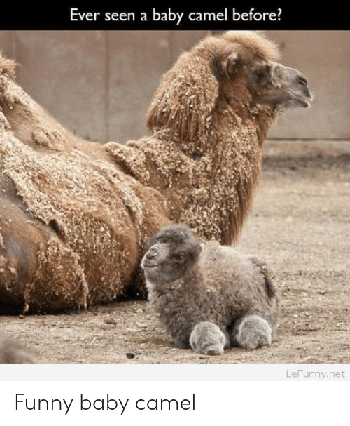 funny baby: Ever seen a baby camel before?  LeFunny.net Funny baby camel