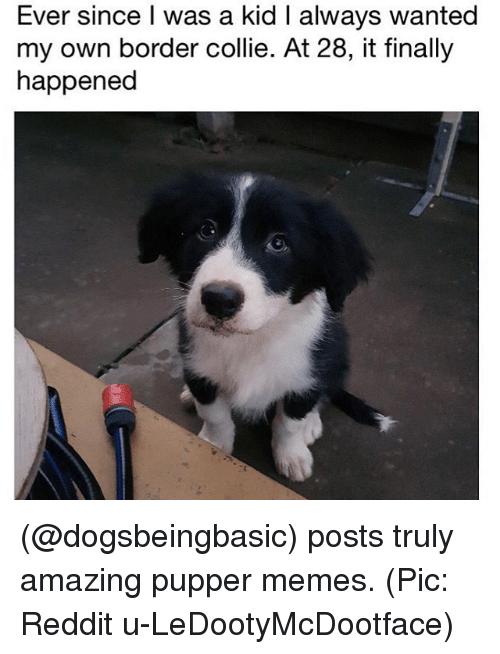 collie: Ever since I was a kid I always wanted  my own border collie. At 28, it finally  happened (@dogsbeingbasic) posts truly amazing pupper memes. (Pic: Reddit u-LeDootyMcDootface)