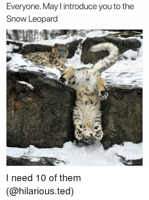 Funny, Ted, and Snow: Everyone. May I introduce you to the  Snow Leopard I need 10 of them (@hilarious.ted)