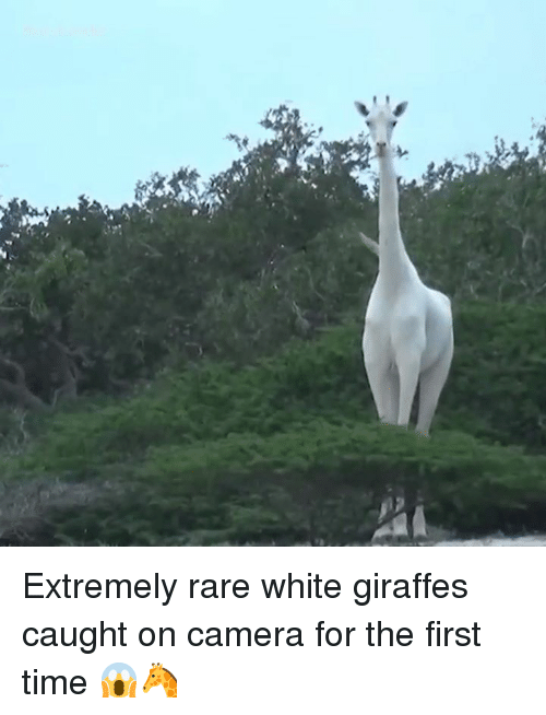 caught on camera: Extremely rare white giraffes caught on camera for the first time 😱🦒