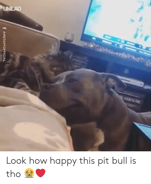 pit bull: f AMSTAFFOFFICIAL Look how happy this pit bull is tho 😭❤️️
