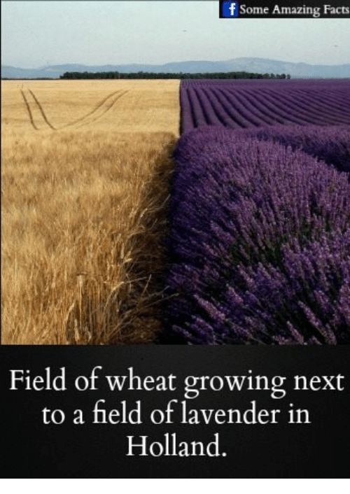 f some amazing facts field of wheat growing next to 17950093 f some amazing facts field of wheat growing next to a field of