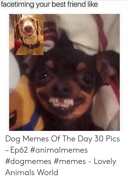 Animals, Best Friend, and Memes: facetiming your best friend like Dog Memes Of The Day 30 Pics – Ep62 #animalmemes #dogmemes #memes - Lovely Animals World