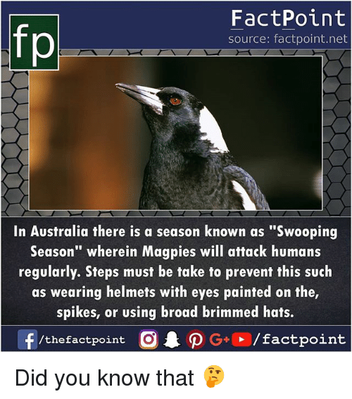 """Fake, Memes, and Australia: FactPoint  source: factpoint.net  In Australia there is a season known as """"Swooping  Season"""" wherein Magpies will attack humans  regularly. Sfeps must be fake to prevenf this such  as wearing helmets wifh eyes painted on the  spikes, or using broad brimmed hats.  f  /thefactpoint C  AO G+  / factpoint Did you know that 🤔"""