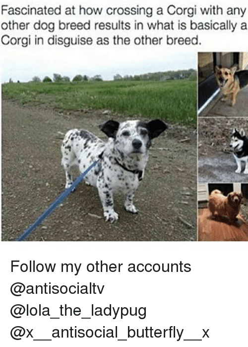 lolas: Fascinated at how crossing a Corgi with any  other dog breed results in what is basically a  Corgi in disguise as the other breed. Follow my other accounts @antisocialtv @lola_the_ladypug @x__antisocial_butterfly__x