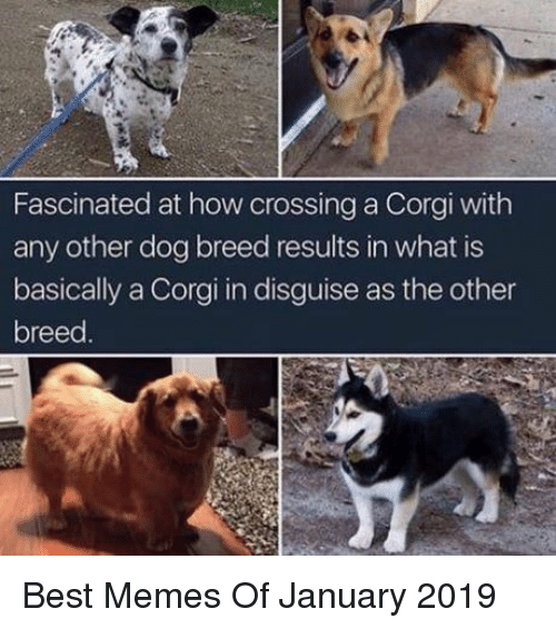 Fascinated At How Crossing A Corgi With Any Other Dog Breed Results
