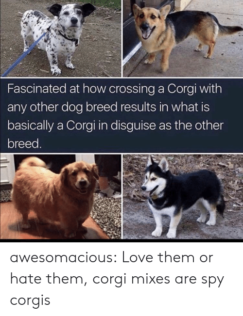 Corgis: Fascinated at how crossing a Corgi with  any other dog breed results in what is  basically a Corgi in disguise as the other  breed. awesomacious:  Love them or hate them, corgi mixes are spy corgis