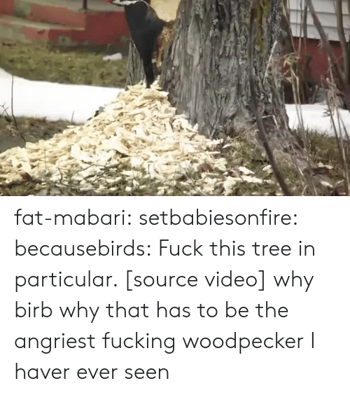 Angriest: fat-mabari: setbabiesonfire:  becausebirds:  Fuck this tree in particular. [source video]  why birb why  that has to be the angriest fucking woodpecker I haver ever seen