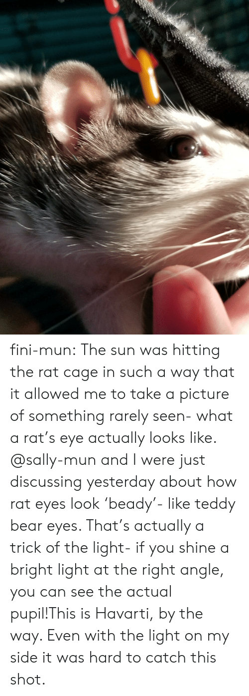 Tumblr, Bear, and Blog: fini-mun:  The sun was hitting the rat cage in such a way that it allowed me to take a picture of something rarely seen- what a rat's eye actually looks like. @sally-mun and I were just discussing yesterday about how rat eyes look 'beady'- like teddy bear eyes. That's actually a trick of the light- if you shine a bright light at the right angle, you can see the actual pupil!This is Havarti, by the way. Even with the light on my side it was hard to catch this shot.