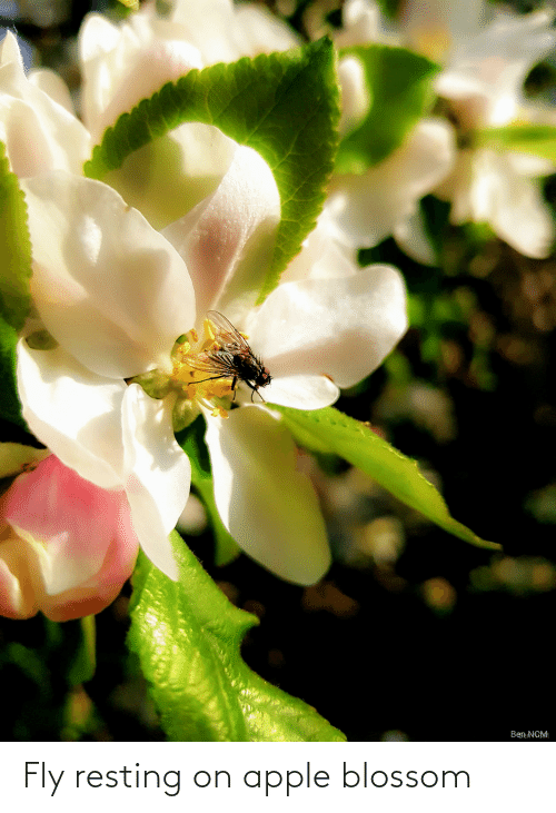 Resting: Fly resting on apple blossom