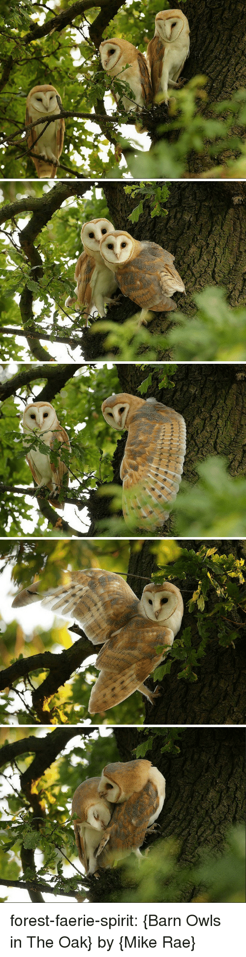 Tumblr, Blog, and Flickr: forest-faerie-spirit: {Barn Owls in The Oak} by {Mike Rae}