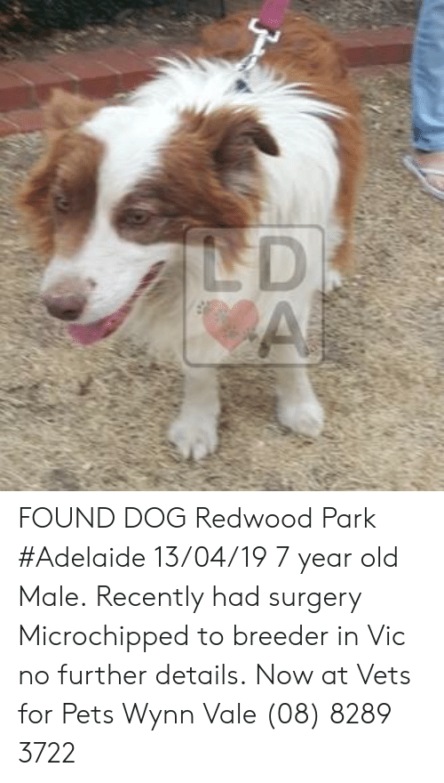 Memes, Pets, and Old: FOUND DOG Redwood Park #Adelaide 13/04/19 7 year old Male. Recently had surgery  Microchipped to breeder in Vic no further details. Now at Vets for Pets Wynn Vale (08) 8289 3722