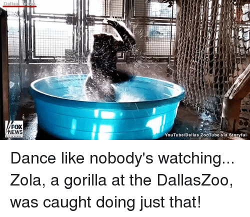 Zola: FOX  NEWS  YouTubelDallas ZooTube via Storyful Dance like nobody's watching... Zola, a gorilla at the DallasZoo, was caught doing just that!
