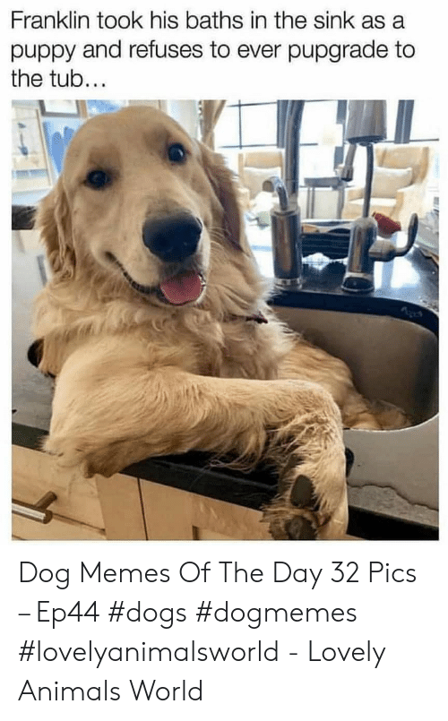 Baths: Franklin took his baths in the sink as a  puppy and refuses to ever pupgrade to  the tub... Dog Memes Of The Day 32 Pics – Ep44 #dogs #dogmemes #lovelyanimalsworld - Lovely Animals World