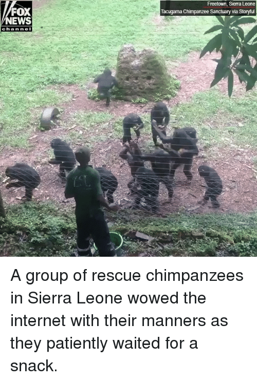 Internet, Memes, and News: Freetown, Sierra Leone  Tacugama Chimpanzee Sanctuary via Storyful  FOX  NEWS  chan ne A group of rescue chimpanzees in Sierra Leone wowed the internet with their manners as they patiently waited for a snack.