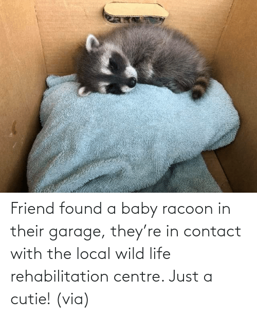 contact: Friend found a baby racoon in their garage, they're in contact with the local wild life rehabilitation centre. Just a cutie! (via)