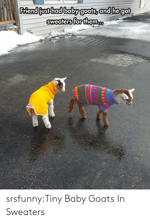 sweaters: Friendiiust hadlbabyg  oats, an  d hegot  sweaters for them. srsfunny:Tiny Baby Goats In Sweaters