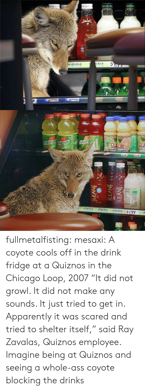 "fridge: fullmetalfisting:  mesaxi:  A coyote cools off in the drink fridge at a Quiznos in the Chicago Loop, 2007 ""It did not growl. It did not make any sounds. It just tried to get in. Apparently it was scared and tried to shelter itself,"" said Ray Zavalas, Quiznos employee.   Imagine being at Quiznos and seeing a whole-ass coyote blocking the drinks"