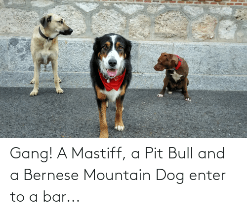 pit bull: Gang! A Mastiff, a Pit Bull and a Bernese Mountain Dog enter to a bar...