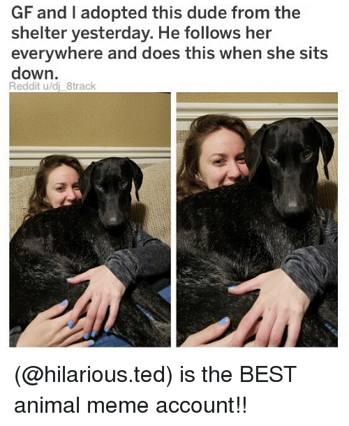 Dude, Meme, and Memes: GF and I adopted this dude from the  shelter yesterday. He follows her  everywhere and does this when she sits  down.  Reddit u/dj_8track (@hilarious.ted) is the BEST animal meme account!!