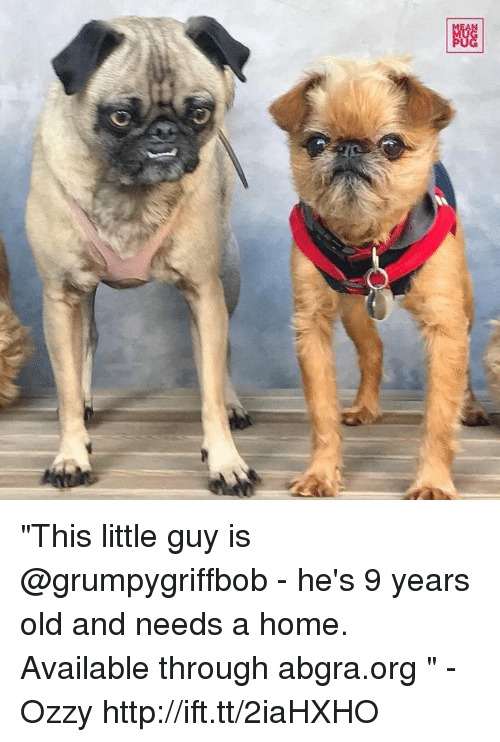 """Ozzies: Giz  图  C) """"This little guy is @grumpygriffbob - he's 9 years old and needs a home. Available through abgra.org """" -Ozzy http://ift.tt/2iaHXHO"""