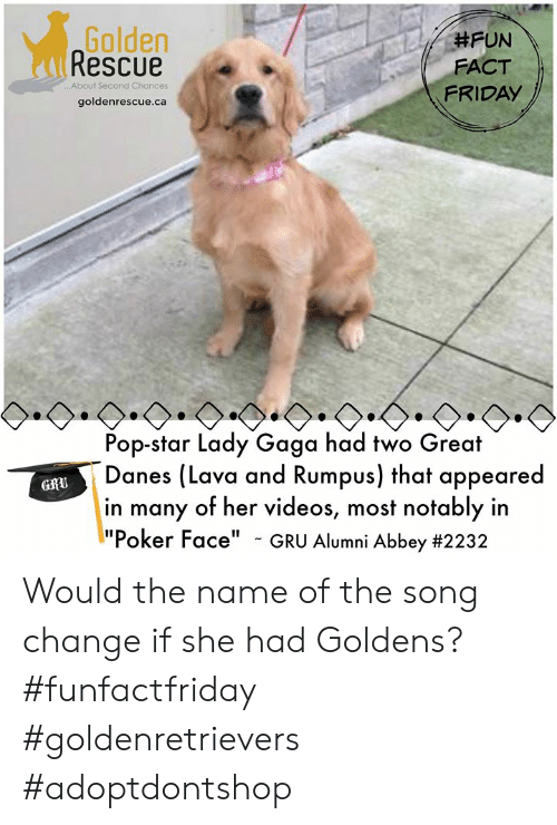 """Friday, Lady Gaga, and Memes: Golden  Rescue  #FUN  FACT  FRIDAY  ..About Second Chances  goldenrescue.ca  Pop-star Lady Gaga had two Great  Danes (Lava and Rumpus) that appeared  in many of her videos  """" Alumni Abbey #2232  GfU  , most notably in  Poker Face"""" - GRU Would the name of the song change if she had Goldens? #funfactfriday #goldenretrievers #adoptdontshop"""