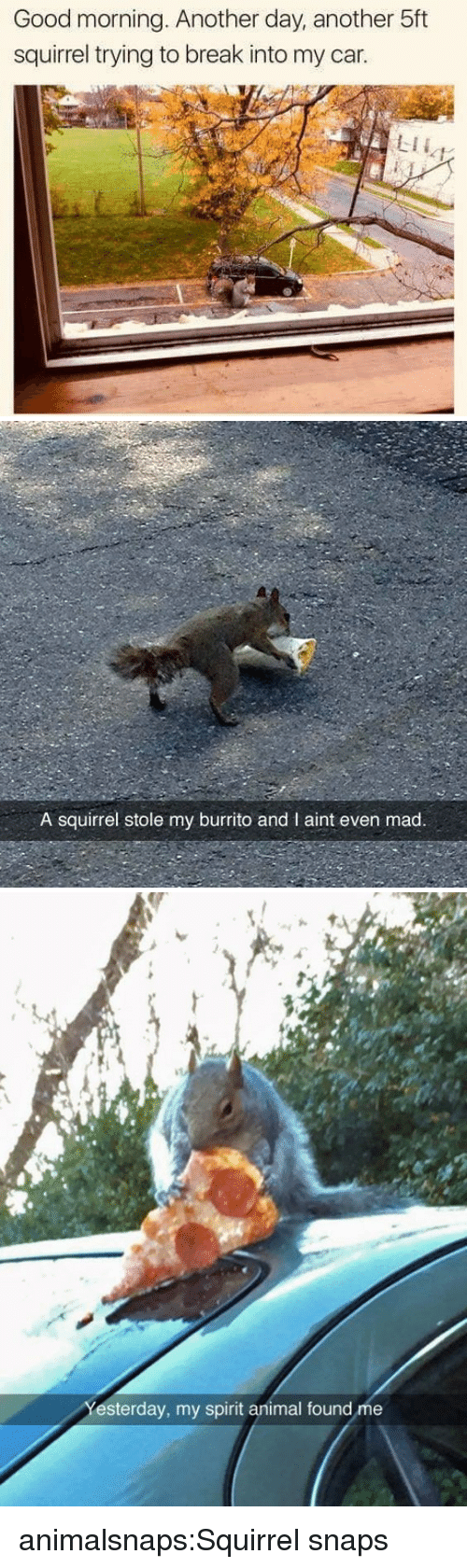 Tumblr, Good Morning, and Animal: Good morning. Another day, another 5ft  squirrel trying to break into my car.  LII   A squirrel stole my burrito and I aint even mad.   et  esterday, my spirit animal found me animalsnaps:Squirrel snaps