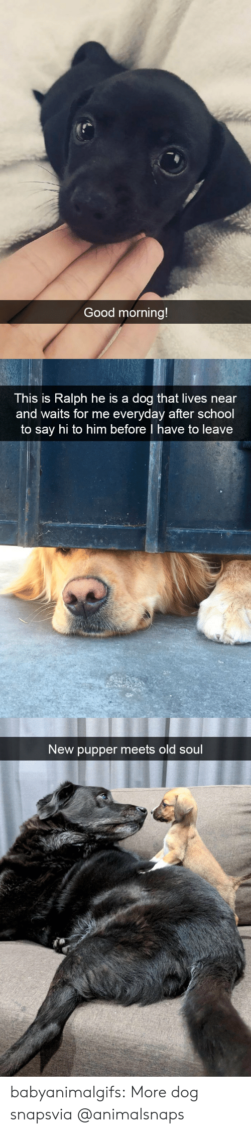 old soul: Good morning!   This is Ralph he is a dog that lives near  and waits for me everyday after school  to say hi to him before I have to leave   New pupper meets old soul babyanimalgifs:  More dog snapsvia @animalsnaps​