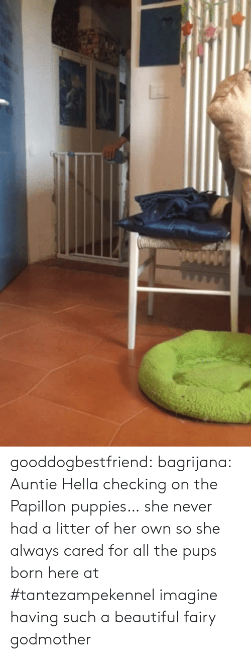 hella: gooddogbestfriend:  bagrijana: Auntie Hella checking on the Papillon puppies… she never had a litter of her own so she always cared for all the pups born here at #tantezampekennel imagine having such a beautiful fairy godmother