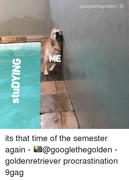 9gag, Memes, and Time: googlethegolden | IG  9  9  ME its that time of the semester again - 📸@googlethegolden - goldenretriever procrastination 9gag