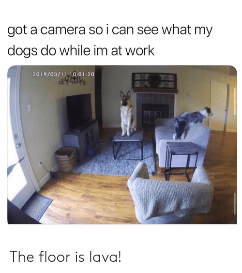 Dogs, Reddit, and Work: got a camera so i can see what my  dogs do while im at work  2019/03/11 10:01:20 The floor is lava!