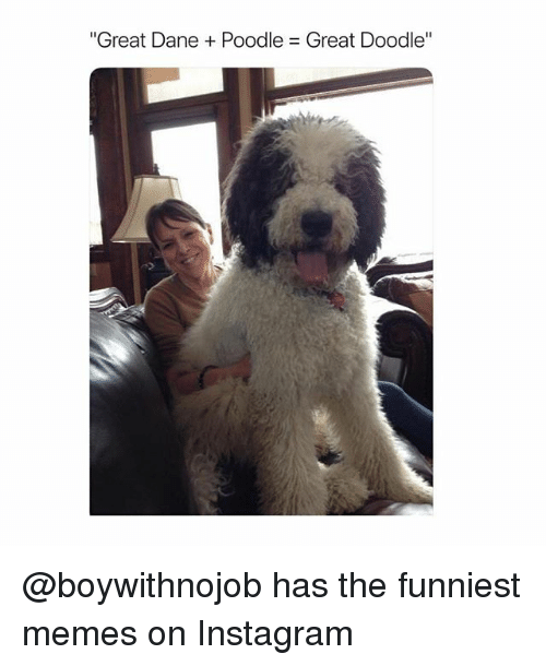 """poodle: """"Great Dane + Poodle = Great Doodle"""" @boywithnojob has the funniest memes on Instagram"""
