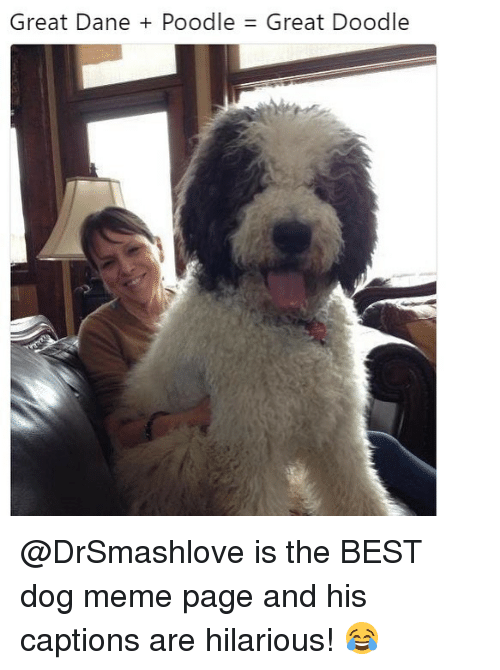 poodle: Great Dane + Poodle  Great Doodle @DrSmashlove is the BEST dog meme page and his captions are hilarious! 😂