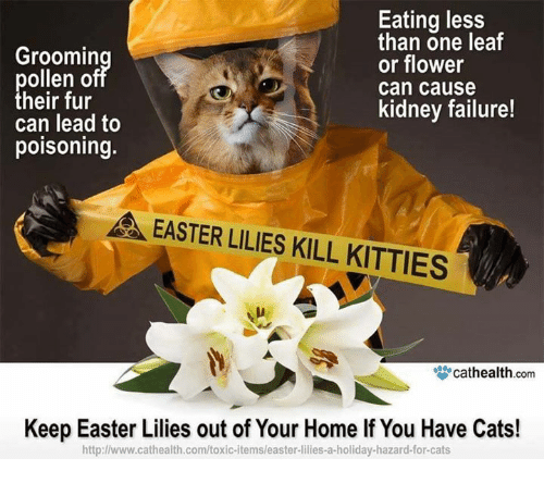 lilies: Groomin  ollen o  heir fur  can lead to  poisoning.  Eating less  than one leaf  or flower  can cause  kidney failure!  EASTER LILIES KILL KITTIES  μ.  眥cathealth com  Keep Easter Lilies out of Your Home If You Have Cats!  http:l/www.cathealth.com/toxic-itemsleaster-lilies-a-holiday-hazard-for-cats