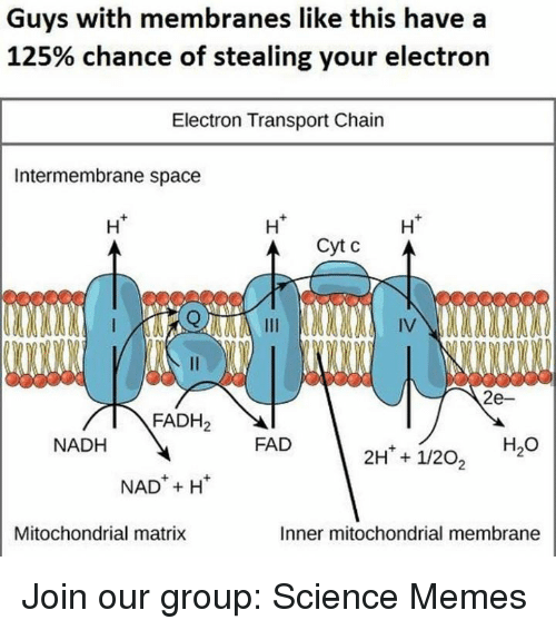 Matrix: Guys with membranes like this have a  125% chance of stealing your electron  Electron Transport Chain  Intermembrane space  Ht  Ht  H*  eceee  IV  2e-  FADH2  NADH  FAD  H2O  NADH  Mitochondrial matrix  Inner mitochondrial membrane Join our group: Science Memes