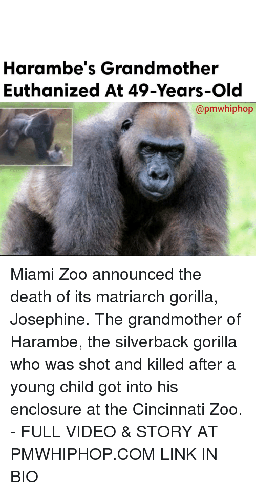 Harambism: Harambe's Grandmother  Euthanized At 49-Years-old  apmwhiphop Miami Zoo announced the death of its matriarch gorilla, Josephine. The grandmother of Harambe, the silverback gorilla who was shot and killed after a young child got into his enclosure at the Cincinnati Zoo. - FULL VIDEO & STORY AT PMWHIPHOP.COM LINK IN BIO