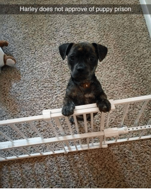 Harley: Harley does not approve of puppy prison